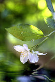 Jasmine flower in the rain — Stock Photo
