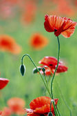 Poppy on sunny field — Stock Photo