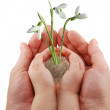 Hand and a snowdrop — Stock Photo