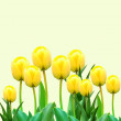 Yellow tulips - Stockfoto