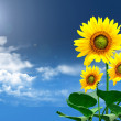 Sunflower - Stockfoto