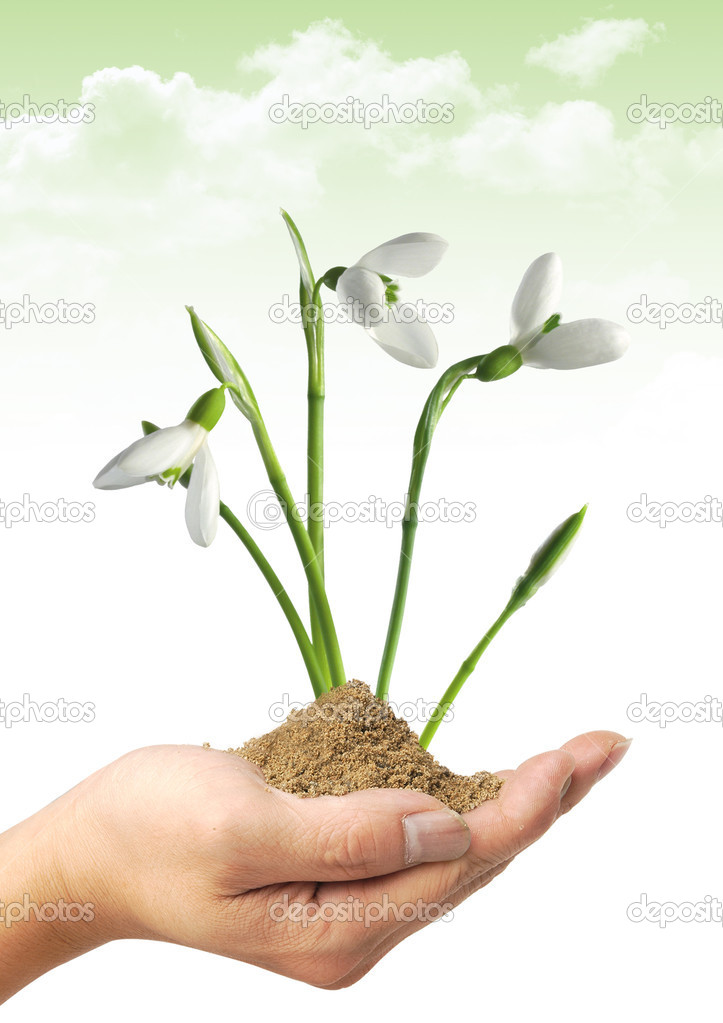 A closeup of fresh snowdrops in early spring  Stock Photo #1692096