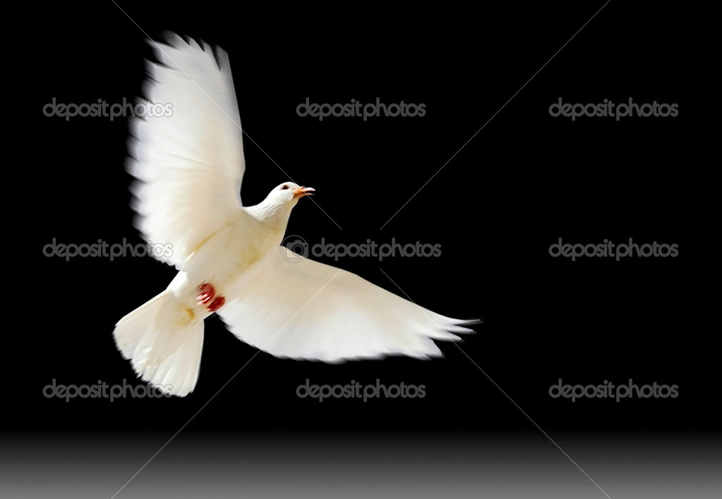 A free flying white dove with a green plant isolated on black background.  Stock Photo #1709921