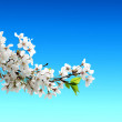 Cherry blossom - Stockfoto