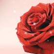 Shining rose — Stock Photo