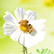 Daisy and a bee - Stockfoto