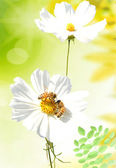 Two daisies — Stock Photo