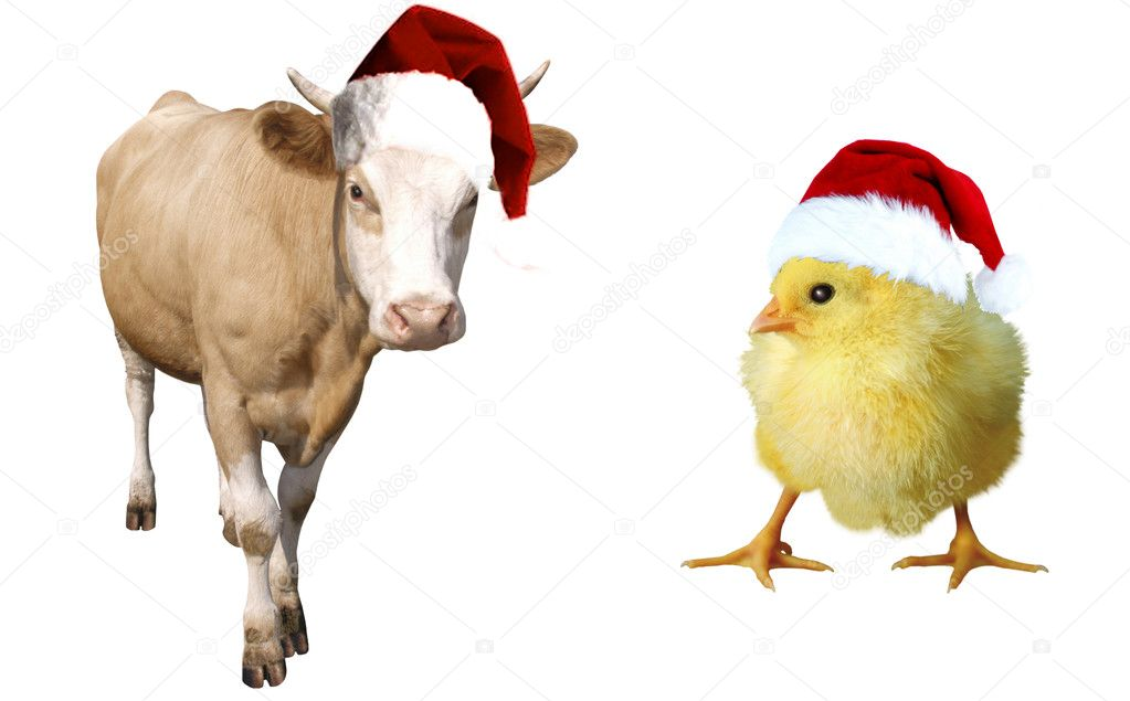 Here you can see nice a calf and a chicken — Stock Photo #1829172