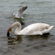 Stock Photo: Cygnet and sea-gull
