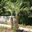 Stock Photo: Palms in yard