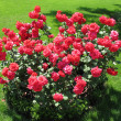 Stock Photo: Bush of red rose
