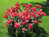 Bush of red rose — Stock Photo