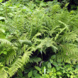 Fern — Stock Photo #1810436