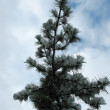 Sprig of fir in winter — Stock Photo