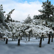 Pine-trees in winter — Stock Photo