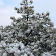 Fir-tree in winter — Stock Photo