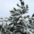 Stock Photo: Sprig of fir in winter
