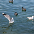 Sea-gulls — Stock Photo