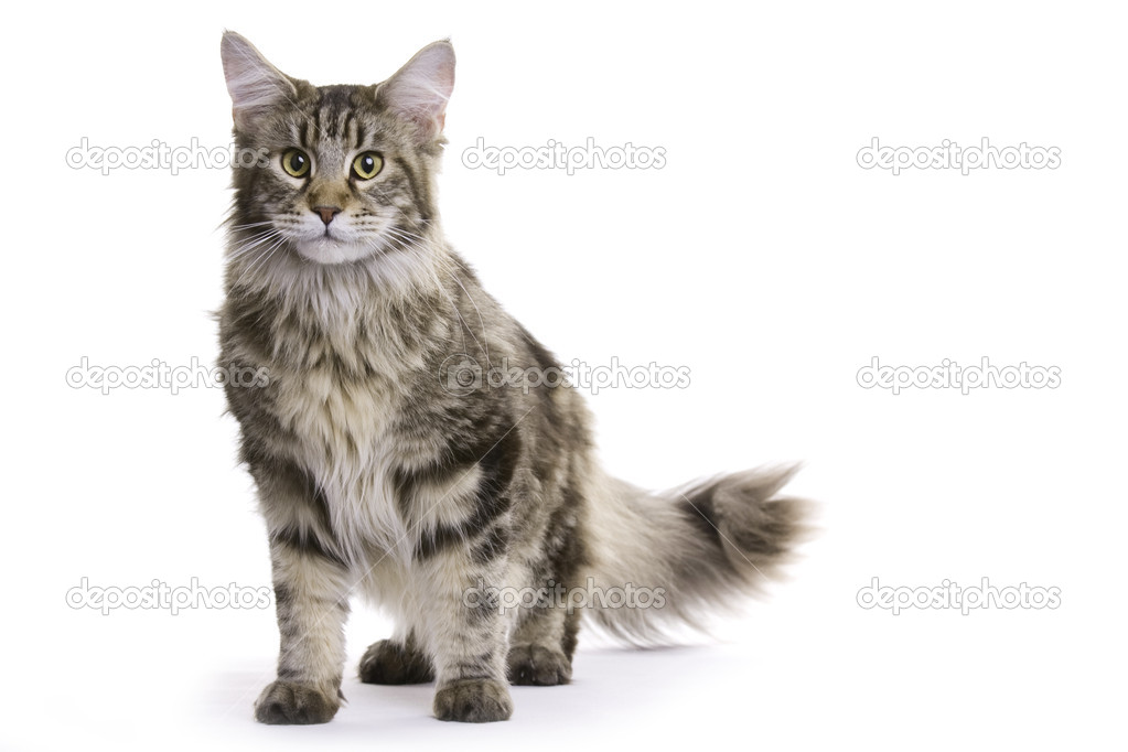 Young Maine Coon standing and looking at the camera — Stock Photo #1999564