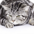 Foto Stock: Cat, British Shorthair