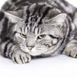 Stock Photo: Cat, British Shorthair