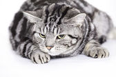 Cat, British Shorthair — Stock Photo
