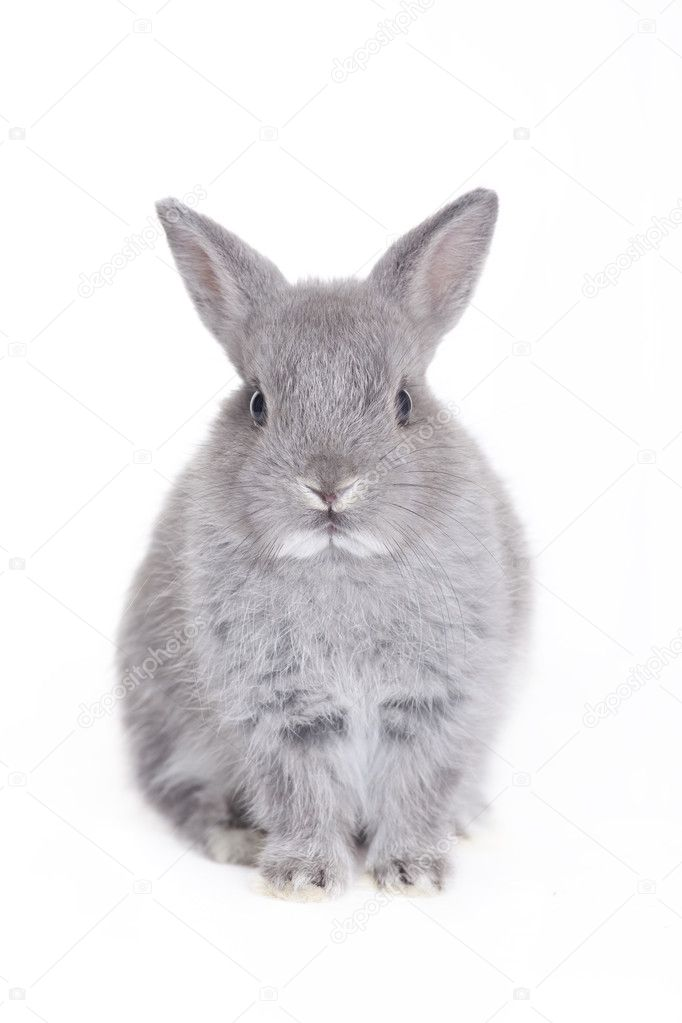 Grey dwarf rabbit on white background — Stock Photo #2097899