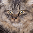 Cat, British longhair — Stockfoto