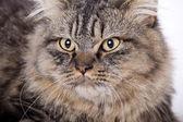 Cat, British longhair — Stock Photo