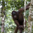 Wild orangutan, Borneo — Stock Photo