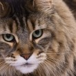 Cat portrait, Main coon - Stock Photo