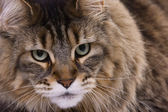 Cat portrait, Main coon — Stock Photo