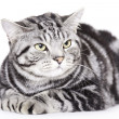 Stock Photo: Beautiful Cat, British Shorthair