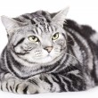 Stockfoto: Beautiful Cat, British Shorthair