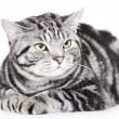 Красивая кошка, Британская короткошерстная — Стоковое фото