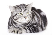 Beautiful Cat, British Shorthair — Stock Photo