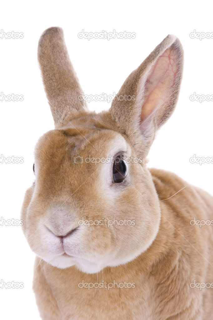Red rabbit portrait on whit background — Stock Photo #2364804