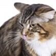 Stock Photo: Cat, tongue out, Main coon