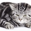 Cat, British shorthair — Stockfoto