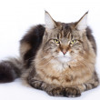 Cat, Maine coon — Stock Photo