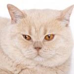 Портрет кошка, Британская короткошерстная — Стоковое фото
