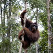 Wild orangutan, Borneo - Stock Photo