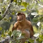 Wild Proboscis monkey, Borneo — Stock Photo