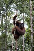 Wild orangutan, Borneo — Stock Photo