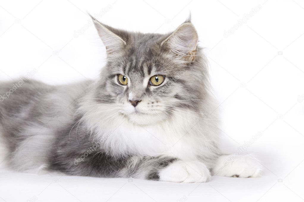 Cat on white background, Maine Coon  Stock Photo #2522169