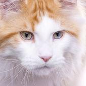 Portrait de chat, coon maine — Photo