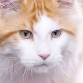 Kočka portrét, maine coon — Stock fotografie