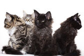 Group of beautiful Maine Coon kittens — Stock Photo