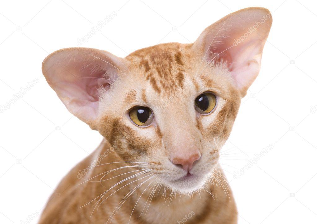 Orange Exotic Shorthair Cat