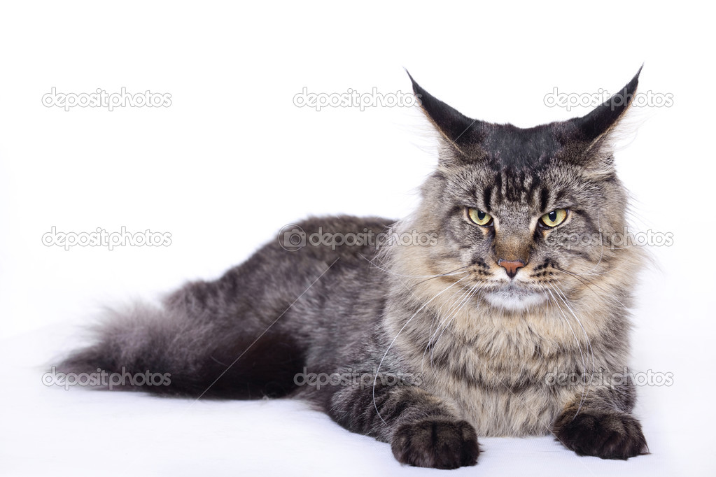 Cat portrait, Main coon — Stock Photo #2571082